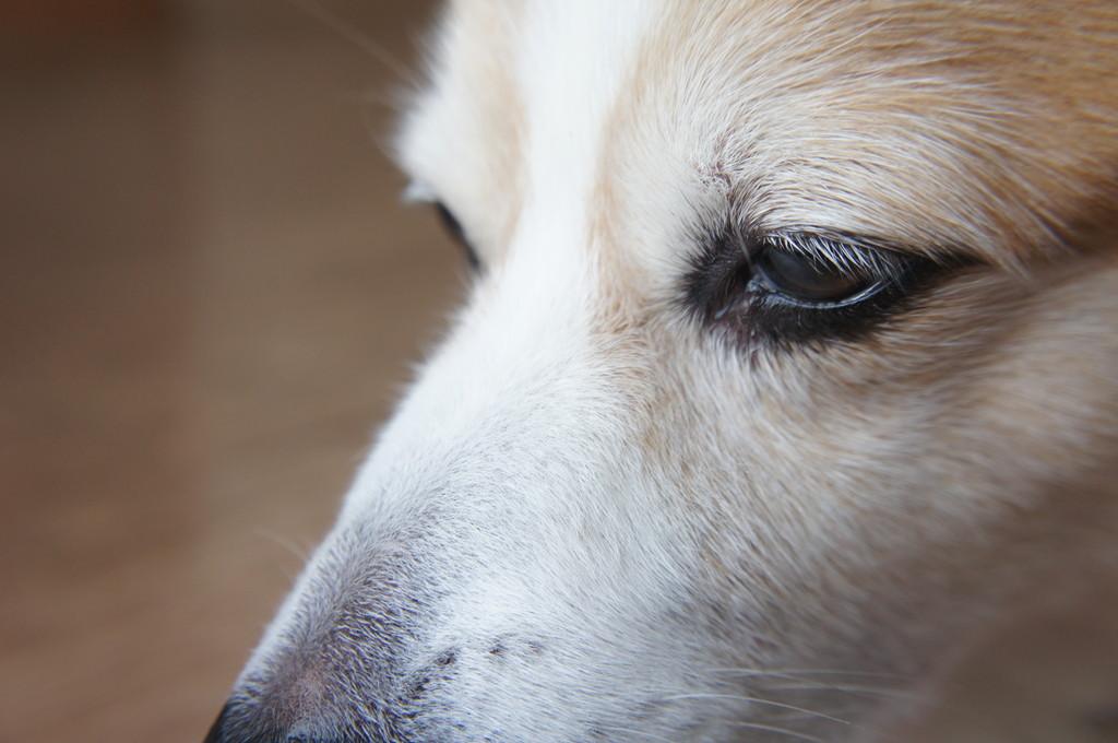 【老犬の最期】亡くなる前の症状や前兆について